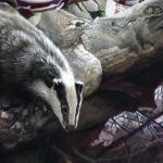 Detail Image of Badgers painting by Geoff Taylor - art by Geoff Taylor