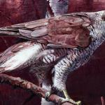 Goshawk detail of plummage. - art by Geoff Taylor